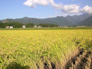 RiceFieldWikimediaCommons