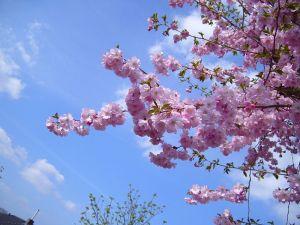 800px-Flowering_cherry_tree