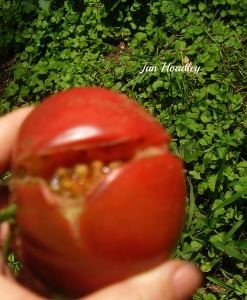 A split tomato - unattractive, but edible, has scientific reasons. Or just dice it for salsa!